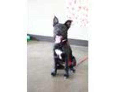 Adopt Mabeline a Black Labrador Retriever