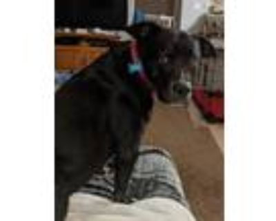 Adopt MIA a Black American Pit Bull Terrier / Mixed dog in Bakersfield