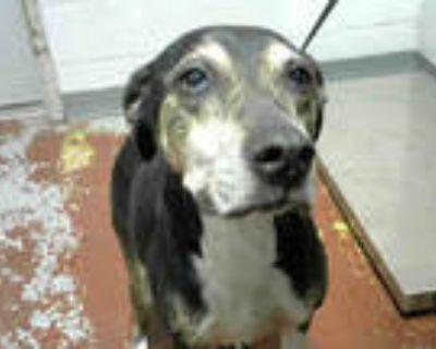 Adopt DESMOND a Black - with White Pointer / Mixed dog in Atlanta, GA (30886128)