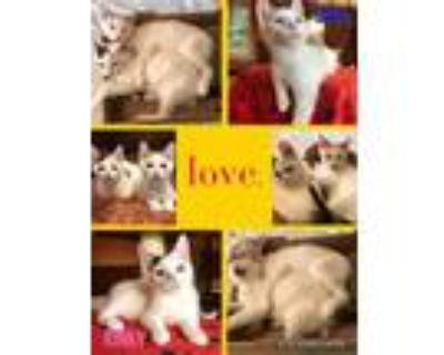 Adopt RINKY a White (Mostly) Domestic Shorthair / Mixed (short coat) cat in