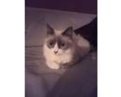 Adopt Bella a Gray or Blue (Mostly) Siamese / Mixed (medium coat) cat in Sherman