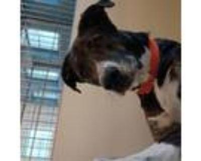 """Adopt 21-290 """"Aragon"""" a Labrador Retriever"""