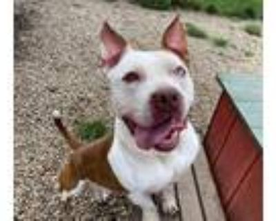 Adopt PURPLE YAM a Pit Bull Terrier