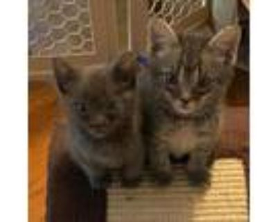 Adopt Teal'C a Gray or Blue Domestic Shorthair / Mixed cat in Newport News
