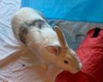 Adopt Nurse Joy a American / Mixed rabbit in Escondido, CA (32574614)