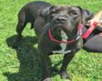 Adopt M'LADY a Labrador Retriever, Shar-Pei