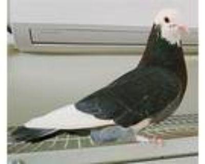 Shintaro Hirase, Pigeon For Adoption In Elizabeth, Colorado