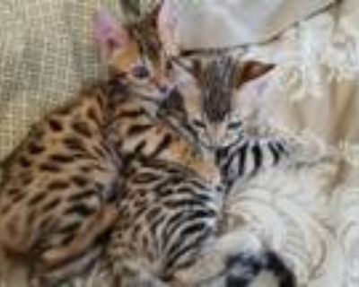Gorgeous Bengal Kittens Marble Spotted Or Rosetted