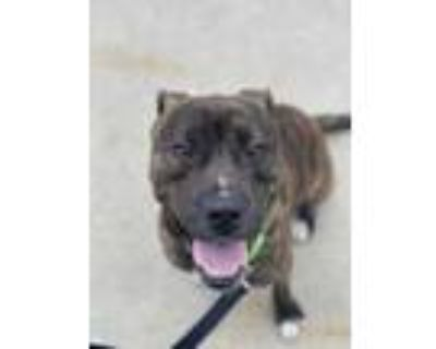 Adopt Carlyle a Brown/Chocolate American Pit Bull Terrier / Mixed dog in Kansas