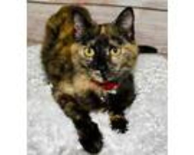Adopt Flame a All Black Domestic Shorthair / Domestic Shorthair / Mixed cat in