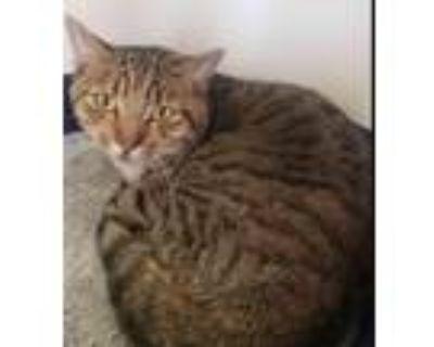 Adopt BARN CAT - Winston a Domestic Short Hair