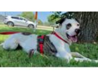 Adopt Thomas a White - with Black Catahoula Leopard Dog / Mixed dog in Uvalde