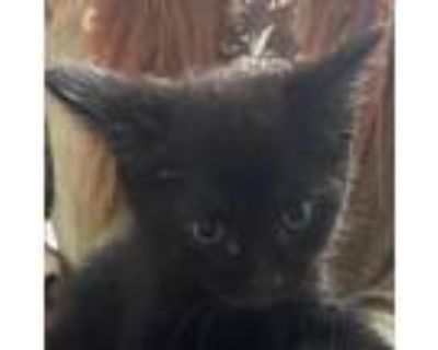 Adopt Lokii a All Black Domestic Shorthair / Mixed cat in Waldorf, MD (31667110)