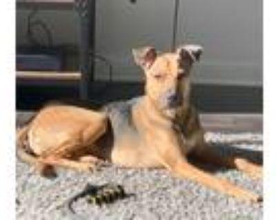 Adopt Malu a Black - with Tan, Yellow or Fawn German Shepherd Dog / Terrier