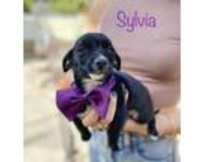 Adopt Sylvia a Chiweenie, Terrier