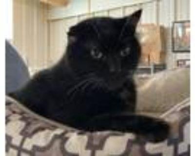 Adopt ReAnn a All Black Domestic Shorthair / Mixed (short coat) cat in Amarillo