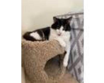 Adopt Suzie a Domestic Longhair / Mixed (short coat) cat in Hampton