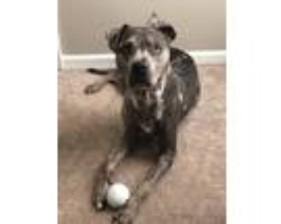 Adopt Ash a Gray/Silver/Salt & Pepper - with White Catahoula Leopard Dog /