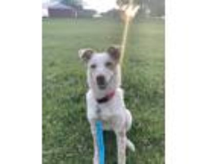 Adopt Lacy a Red/Golden/Orange/Chestnut - with White Australian Cattle Dog /