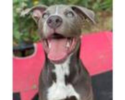Adopt Ariat JuM a Australian Cattle Dog / Blue Heeler, Mixed Breed