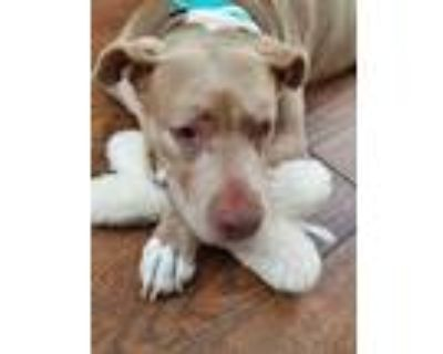 Adopt Etta a American Staffordshire Terrier, Pit Bull Terrier