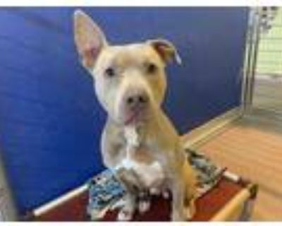 Adopt NIPSY a Tan/Yellow/Fawn - with White American Pit Bull Terrier / Mixed dog