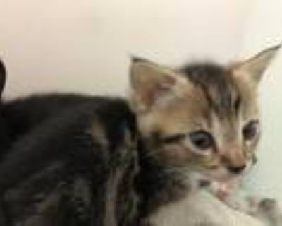 Adopt MARNIE a Brown Tabby Domestic Shorthair / Mixed (short coat) cat in