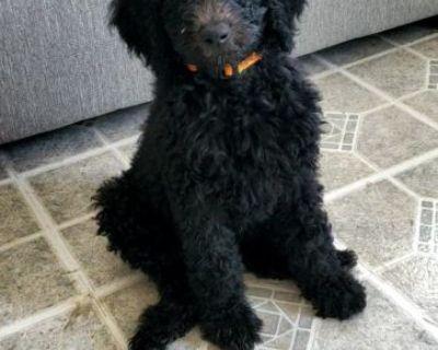 Black standard female poodles