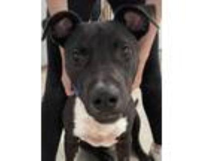 Adopt Hugo a Labrador Retriever, American Staffordshire Terrier