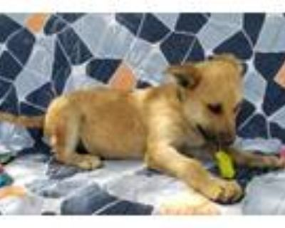 Adopt Winston Coyote a Wirehaired Terrier, Airedale Terrier