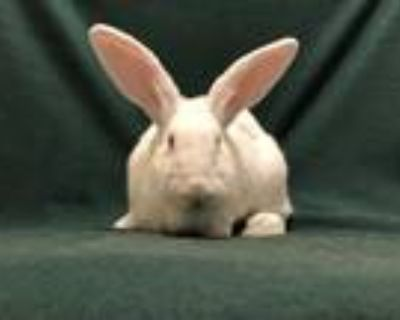 Adopt Juneau a White Flemish Giant / Mixed (short coat) rabbit in West Palm