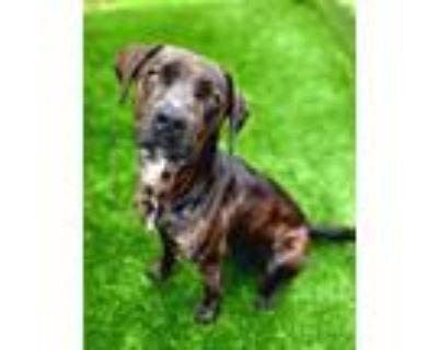Adopt Bailey 529-21 a Plott Hound, Mixed Breed