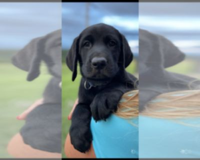WHITE AND BLACK LAB PUPPIES
