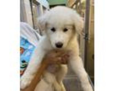 Adopt Feride a Great Pyrenees / Mixed dog in Albuquerque, NM (31609957)