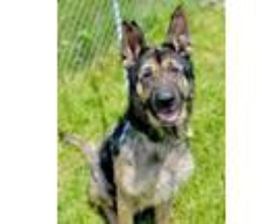 Adopt Toby a German Shepherd Dog, Mixed Breed
