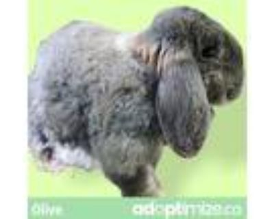 Adopt Olive a American Fuzzy Lop / Mixed rabbit in Kingston, NY (31986721)