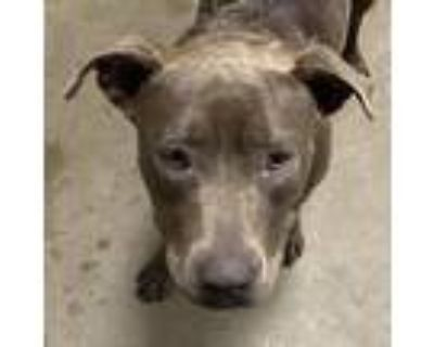 Adopt Lacy a Gray/Silver/Salt & Pepper - with Black American Pit Bull Terrier /