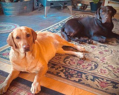 Chocolate Lab Puppies HUNTERS