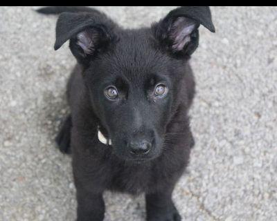 German Shepherd Dog Puppies