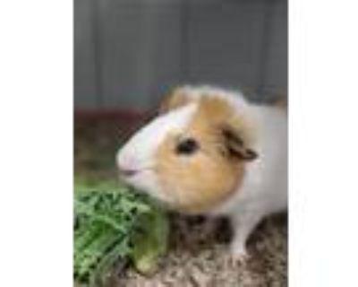 Adopt Brad a Guinea Pig