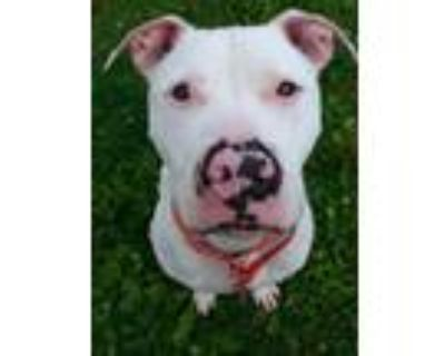 Adopt Vinny a American Staffordshire Terrier, Mixed Breed