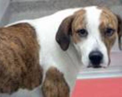 Adopt SUMMER* a Pit Bull Terrier