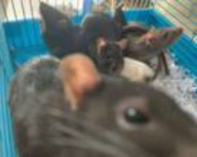 Adopt Covette Baby Girl Three a Rat