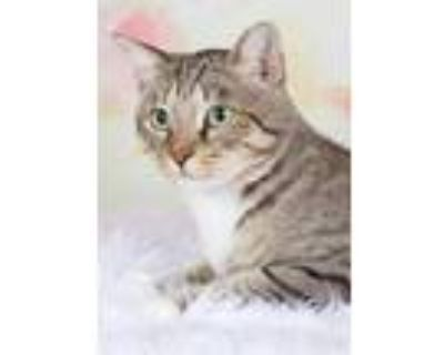 Adopt Muffin Mitts a Domestic Short Hair, Extra-Toes Cat / Hemingway Polydactyl