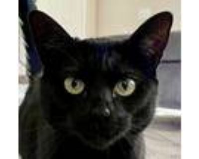 Catwoman, Domestic Shorthair For Adoption In Temecula, California