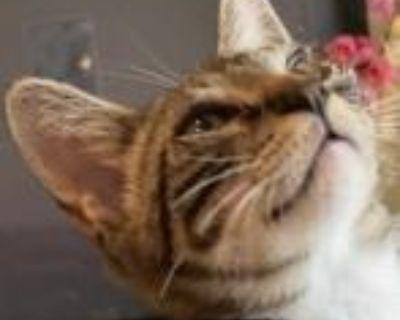 Maverick - Domestic Shorthair - Kitten Male