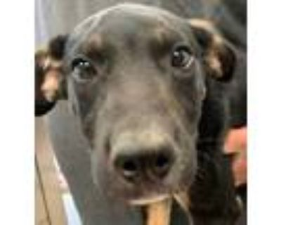 Adopt Poncho a Black Shepherd (Unknown Type) / Mixed dog in Burleson