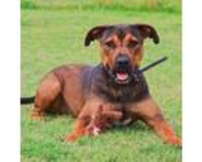 Adopt Axel a Black - with Tan, Yellow or Fawn Staffordshire Bull Terrier / Boxer