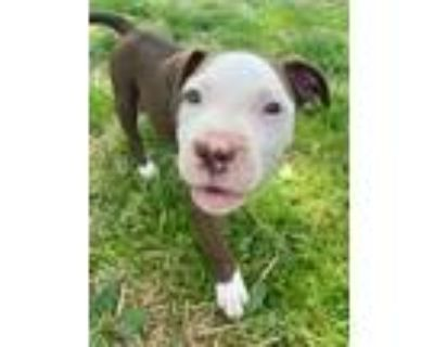Adopt Lennon a Pit Bull Terrier
