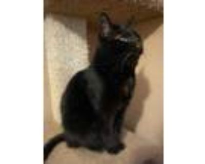 Adopt Imp a All Black Domestic Shorthair / Domestic Shorthair / Mixed cat in